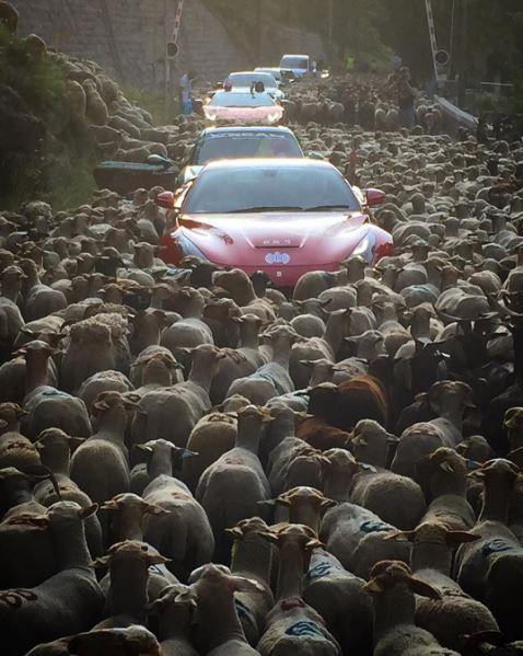Siêu xe tắc đường vì cừu