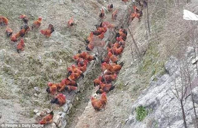 Cảnh sát Trung Quốc đuổi bắt gà trên cao tốc 2