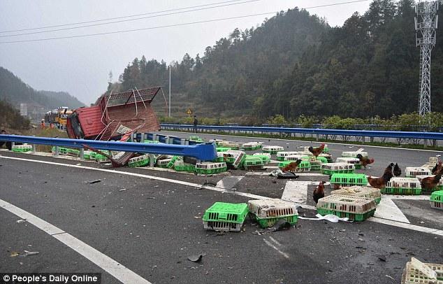 Cảnh sát Trung Quốc đuổi bắt gà trên cao tốc 3
