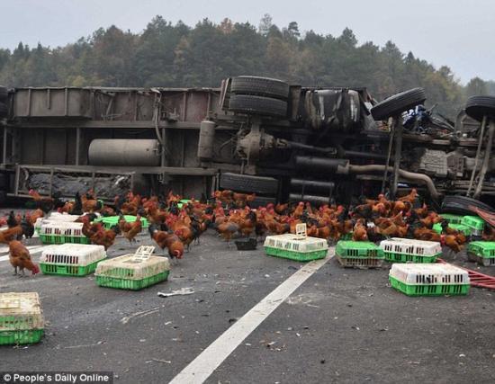 Cảnh sát Trung Quốc đuổi bắt gà trên cao tốc